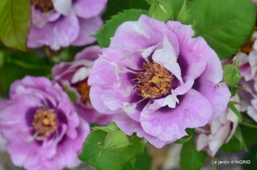 Colombier,Cadouin,jardin,roses,pluie 054.JPG