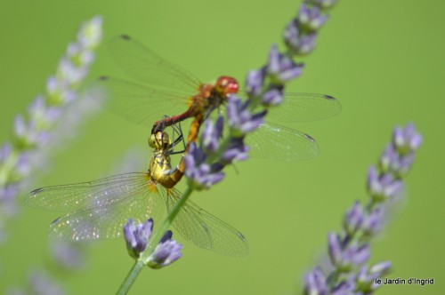 coeur des fleurs,papillons,libellules 115.JPG