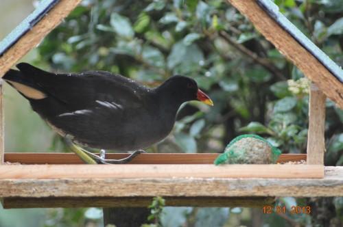 oiseaux,poules,plantes janvier 079.JPG