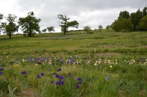 serre,iris,ancolie,iriseraie Papon,moulin 192.JPG