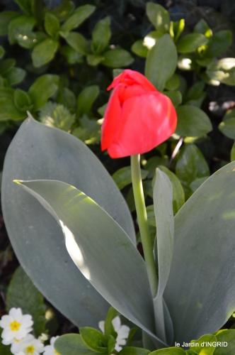 Rouge,narcisse,jardin 041.JPG