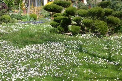 avant tonte,après,euphorbes,tulipes botaniques,autres 005.JPG