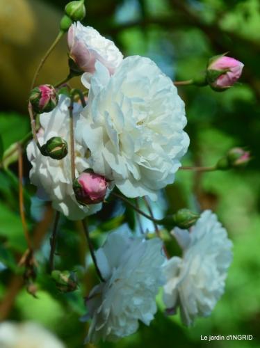 les roses,les 4 filles,jardin,Julie,coquelicots,cygnes 007.JPG