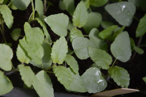 iris,arbre de judée,pivoine,Arya,viburnum,pts plants,cytise,akéb 080.JPG