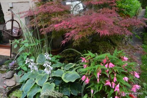 mon jardin,dégats buis, 105.JPG