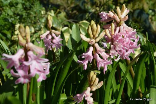 bouquet mamy,jacinthes,semis,jardin 058.JPG