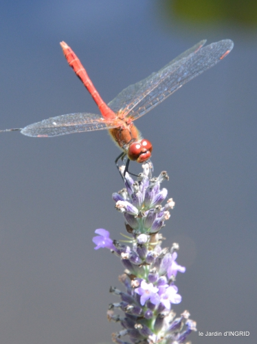 libellules,papillon,jardin,Froidefond,David,Meyrals 005.JPG