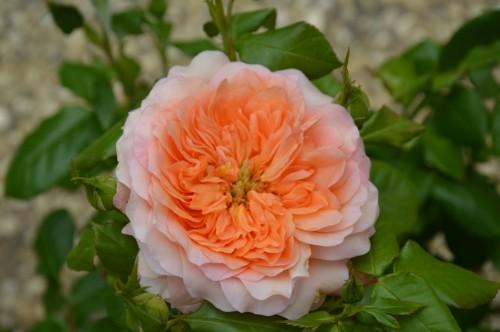 CADOUIN,cascade,iris,roses,fl.sauvages 058.JPG
