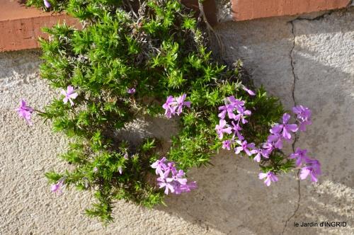 première roses,achats,jardin blanc 038.JPG