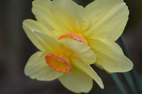 bouvreuils,chatons,fleurettes,pluie,orchidee,écureuil,vues du ja 103.JPG