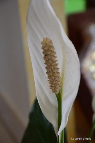 canal,fleurs blanches,marguerites,LE FLEIX,osier 014.JPG