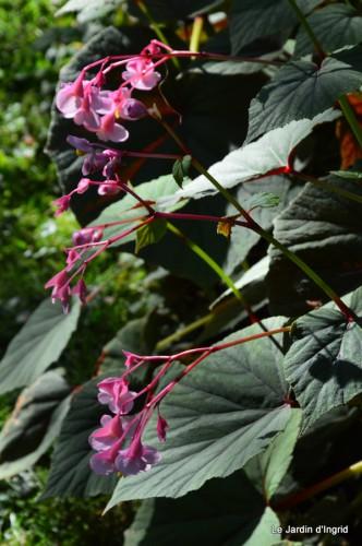 jardin,puces Lasmonzie,asters 010.JPG