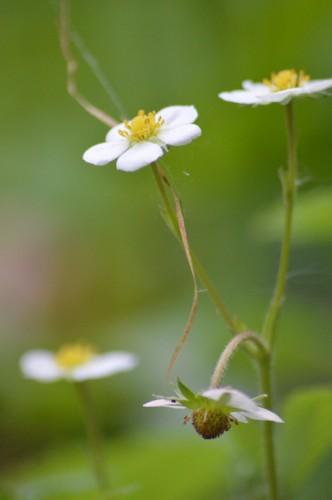 zoom sur fleur printemps 160.JPG