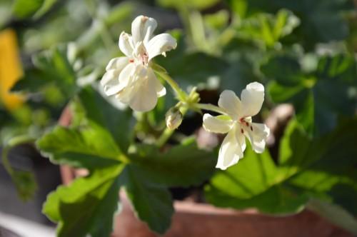 potager ,roses,jardin 034.JPG