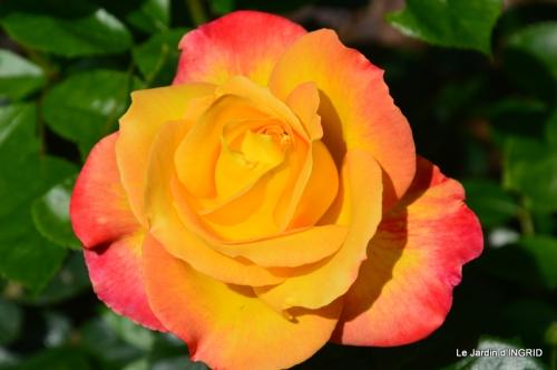 Cadouin,ancolies,roses,pollen,osier,photos Fabien,coquelicots 114.JPG