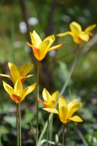 avant tonte,après,euphorbes,tulipes botaniques,autres 036.JPG