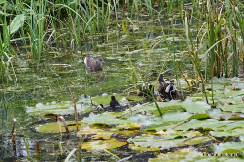 puces Lalinde,bébés canards,au moulin souci 043.JPG