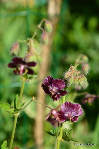 géraniums,glycine Monpazier,cabane,arums,fleurs sauvages 020.JPG