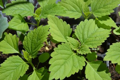 iris,arbre de judée,pivoine,Arya,viburnum,pts plants,cytise,akéb 071.JPG