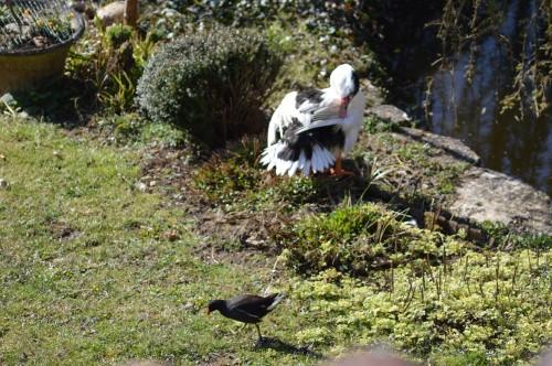le canard blanc,crocus,petasite,magnolia 069.JPG