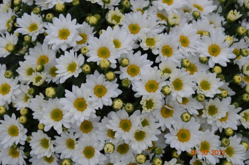 citrouilles,jardin,Combarel 062.JPG