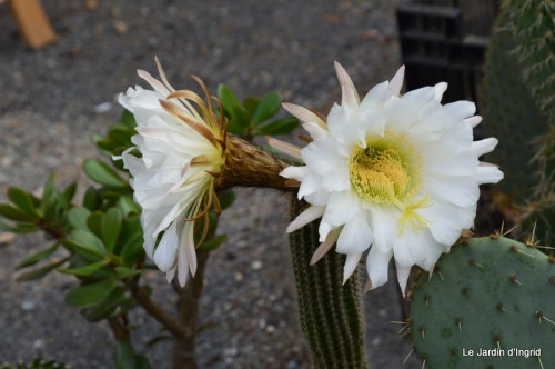 canal,fleurs blanches,marguerites,LE FLEIX,osier 095.JPG
