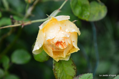 jardin,roses,cabane 127.JPG