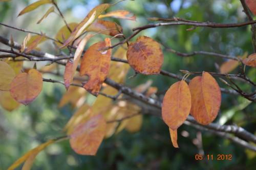 Ciron,feuilles d'automne,safran,taille érable 113.JPG