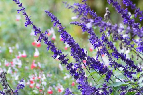jardin,insectes,paillote,chrysanthèmes,rouge-gorge 098.JPG