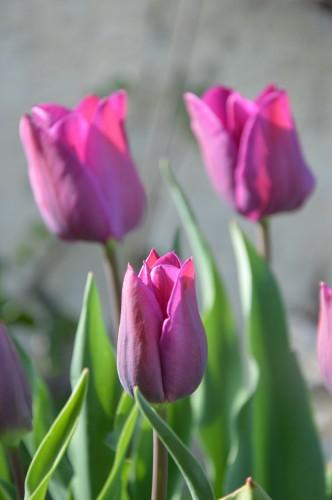 Beaumont,tulipes,primevères et autres,chez Bernadette 028.JPG