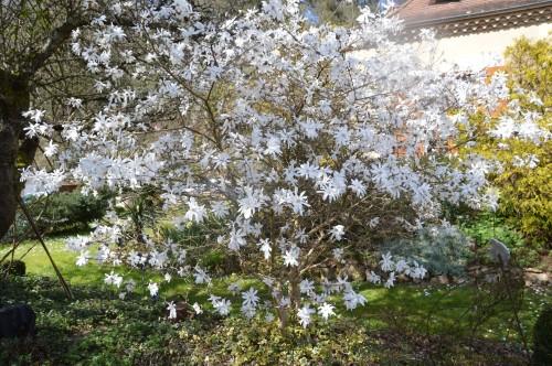 troc graines Neufont,magnolia stelleta 070.JPG