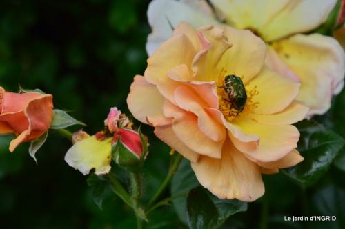 Roses du jardin,soirée Monpazier,puces Eymet 162.JPG