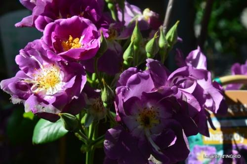 muguet,féte des fleurs Lalinde,jardin 101.JPG