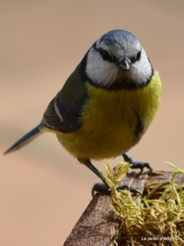 jonquilles,oiseaux avec noix,taille arbres,jardin 089.JPG