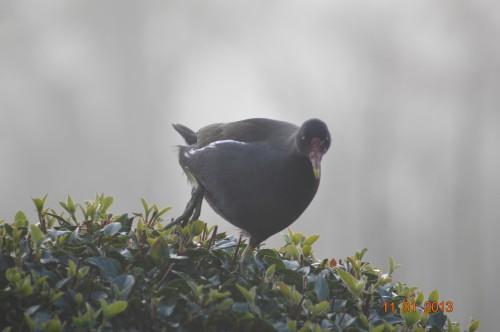 oiseaux,poules,plantes janvier 006.JPG