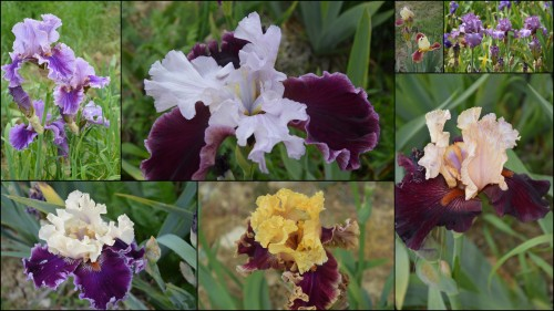 2013-05-12 serre,iris,ancolie,iriseraie Papon,moulin5.jpg