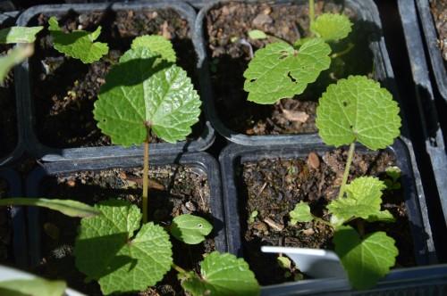 iris,arbre de judée,pivoine,Arya,viburnum,pts plants,cytise,akéb 073.JPG