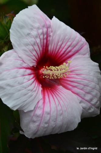 pluviomètre,hibiscus,jardin,coucher de soleil 027.JPG