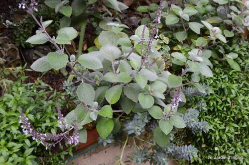 ménage automne,plectanthrus,feuillages 136.JPG