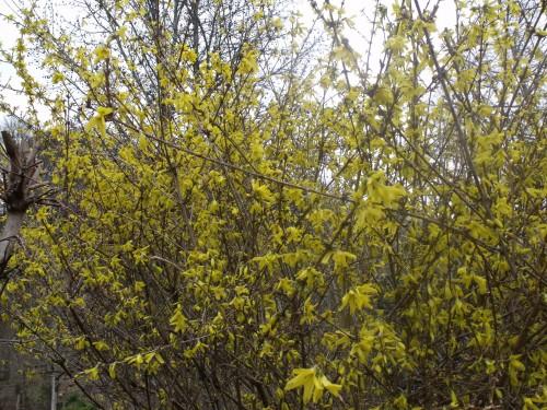 magnolia,forsythia,mahonia