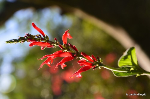 jardin octobre,chez Marylaur,Arnaud ,Ariane,la mer,sauges 244.JPG