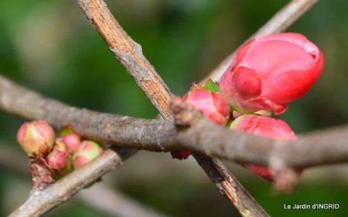 hélébores,bruyères,arbustes fleuries,mésanges 034.JPG