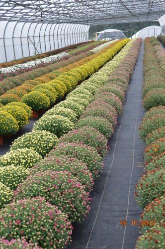citrouilles,jardin,Combarel 050.JPG