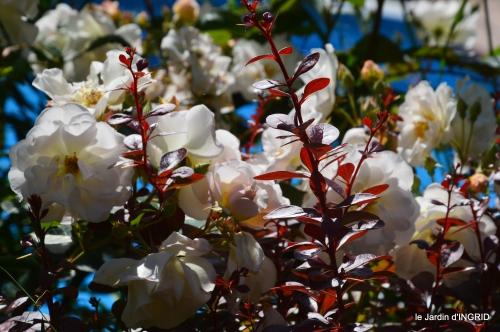 cygnes,Sophie,jardin en mai 020.JPG