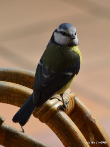 jonquilles,oiseaux avec noix,taille arbres,jardin 088.JPG