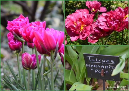 2016-04-07 tulipes,Julie,golf,jardin.jpg