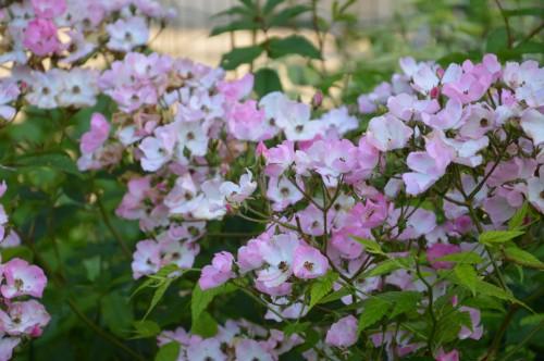 potager ,roses,jardin 004.JPG