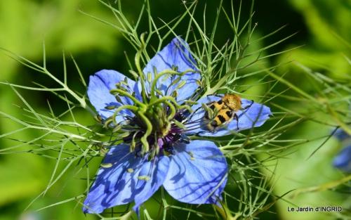 Cadouin,ancolies,roses,pollen,osier,photos Fabien,coquelicots 084.JPG