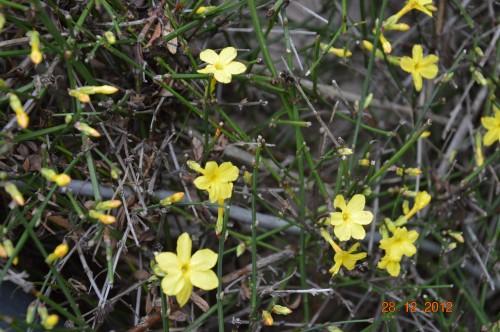 mésanges, nid frelons,fleurs décembre 130.JPG