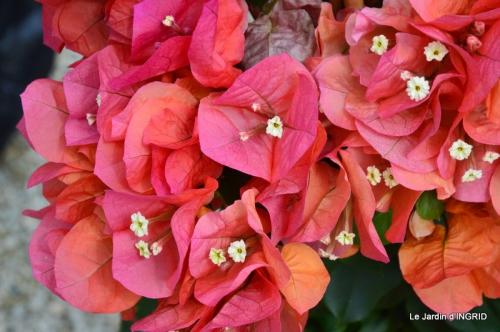 Cadouin,ancolies,roses,pollen,osier,photos Fabien,coquelicots 052.JPG